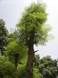 moringa-arvore
